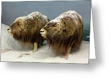 A Pair Of Musk Oxen, International Wildlife Museum, Tucson, Ariz Greeting Card