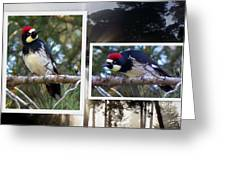 Acorn Woodpecker Greeting Card