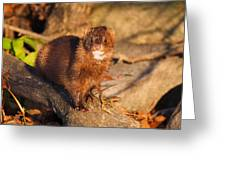 Adorable Mink Greeting Card