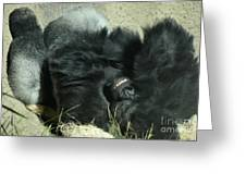 Adult Silverback Gorilla Laying Down With Anguished Expression Greeting Card