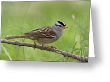 adult White-crowned Sparrow Greeting Card
