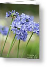 Agapanthus Campanulatus Subsp Patens Portrait Shallow Dof Greeting Card