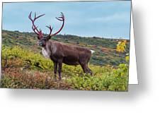 Alaska Caribou In Denali National Park Greeting Card