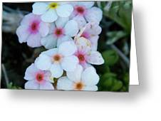Alpine Rockjasmine Up Close Greeting Card
