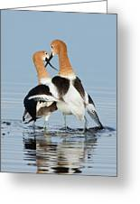 American Avocets, Courtship Dance Greeting Card