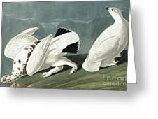 American Ptarmigan, Tetrao Mutus, White Tailed Grous, Tetrao Leucurus Greeting Card