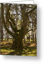 ancient tree in forest near Greenlawin Scottish Borders Greeting Card
