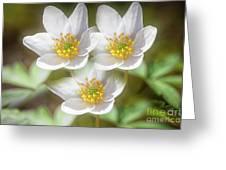 Anemone Nemorosa 2 Greeting Card