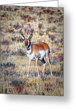 Antelope Buck 2 Greeting Card