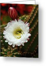 Argentine Giant White Flower And Red Bud Greeting Card