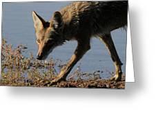 Arizona Coyote  Greeting Card