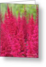 Astilbe Fanal Flowers Greeting Card