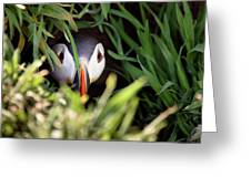 Atlantic Puffin In Burrow Greeting Card by Elliott Coleman