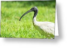 Australian White Ibis Greeting Card by Rob D Imagery