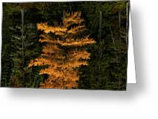 Autumn Tamarack  Greeting Card by Doug Gibbons