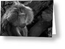 Baboon Black And White Greeting Card