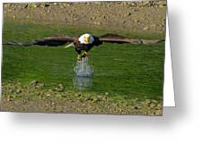 Bald Eagle Catching A Fish Greeting Card
