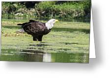 Bald Eagle's Look Greeting Card