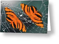 Banded Orange Butterfly. Greeting Card