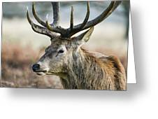 Beautiful Red Deer Stag Cervus Elaphus With Majestic Antelrs In  Greeting Card