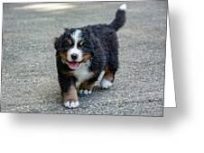 Bernese Mountain Dog Puppy 2 Greeting Card