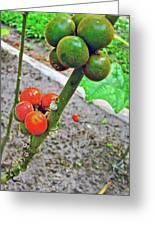 Berries In Shaman's Garden In Amazon Jungle, Peru Greeting Card