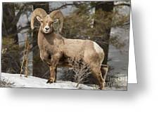 Bighorn Ram Feeding By Quake Lake Greeting Card