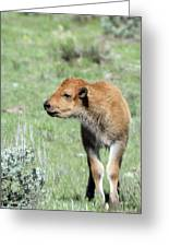 Bison Calf In Lamar Valley Greeting Card