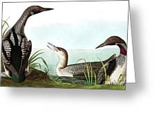 Black Throated Diver, Colymbus Arcticus By Audubon Greeting Card