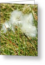Bog Cotton On The Moor Greeting Card
