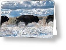 Buffalo Charge.  Bison Running, Ground Shaking When They Trampled Through Arsenal Wildlife Refuge Greeting Card