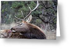 Bull Elk Grooms Himself Greeting Card