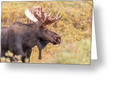 Bull Moose In Fall Colors Greeting Card