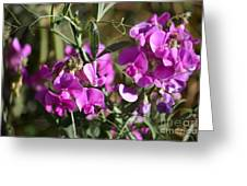 Bunch Of Pink Sweet Peas In The Sun Greeting Card