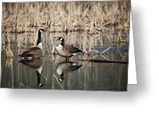 Canada Geese On The Marsh Greeting Card by Jemmy Archer