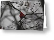 Cardinal On The Limb Greeting Card