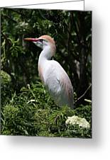 Cattle Egret With Breeding Feathers Greeting Card