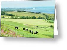 cattle in field and east coast Berwickshire Greeting Card