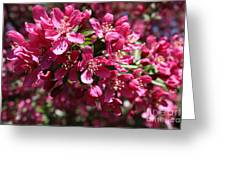 Cherry Blossoms 2019 IIi Greeting Card