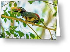 Chestnut-eared Araacari Greeting Card