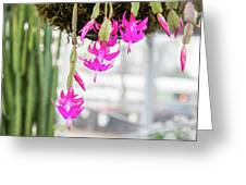 Christmas Cactus In Razzle Dazzle Pink Greeting Card