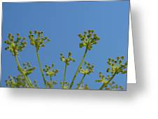 Close Up Of Fennel Flowers. On Sky Background Greeting Card