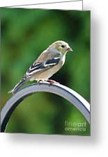 Closeup Of Goldfinch Greeting Card