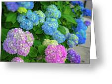 Colorful Hydrangeas Greeting Card