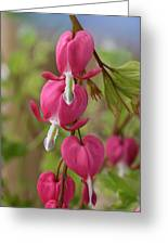 Common Bleeding Hearts, North America Greeting Card