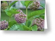 Common Milkweed Greeting Card