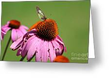 Cone Flower Butterfly At Rest Greeting Card