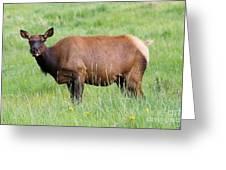 Cow Elk Grazing Greeting Card