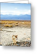 Coyote, Death Valley National Park Greeting Card