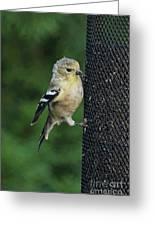 Cute Goldfinch At Feeder Greeting Card